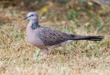 Spotted Dove_0